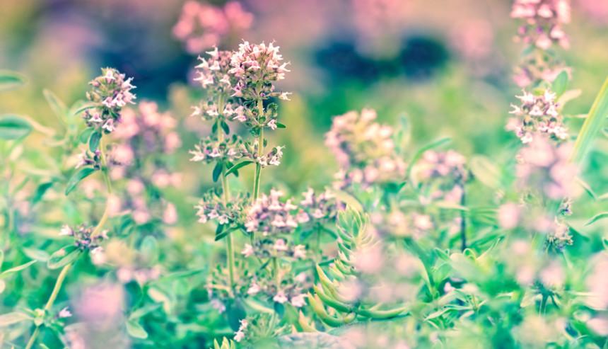 Aglio orsino la pianta del mese tisana fiere del for Aglio pianta